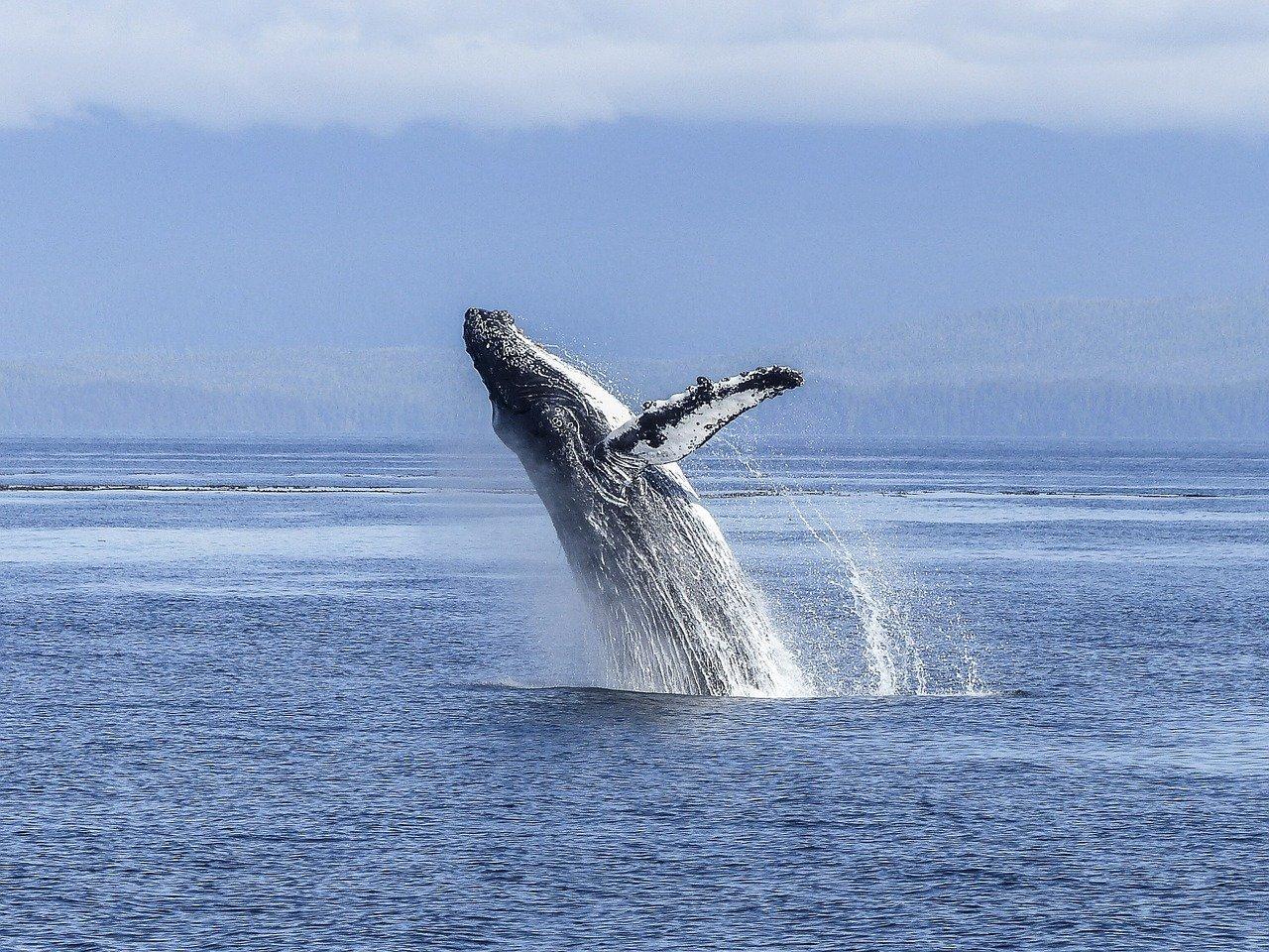 'Выплюнул, естественно': Учёный объяснил, почему дайвер выбрался живым из пасти кита